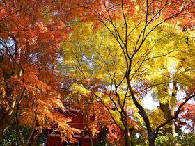 オレンジと黄色の絶景!松戸市「本土寺」生れの秋山紅で紅葉狩り|千葉県|トラベルjp<たびねす>