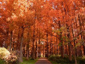 上を向いて歩こう!葛飾区「水元公園」メタセコイア紅葉の森|東京都|トラベルjp<たびねす>