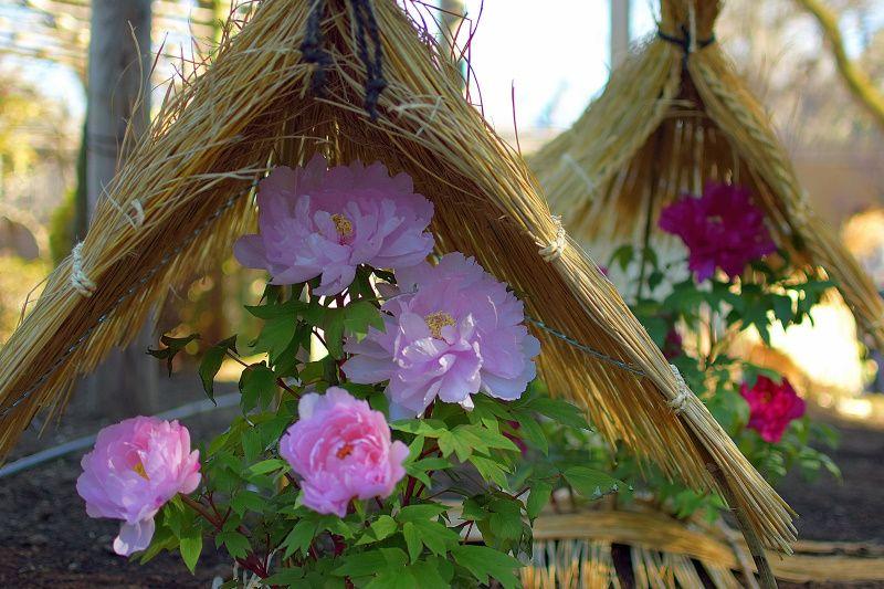 冬に咲く貴婦人!「上野東照宮ぼたん苑」で見る富貴な冬牡丹