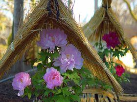 冬に咲く貴婦人!「上野東照宮ぼたん苑」で見る富貴な冬牡丹|東京都|トラベルjp<たびねす>