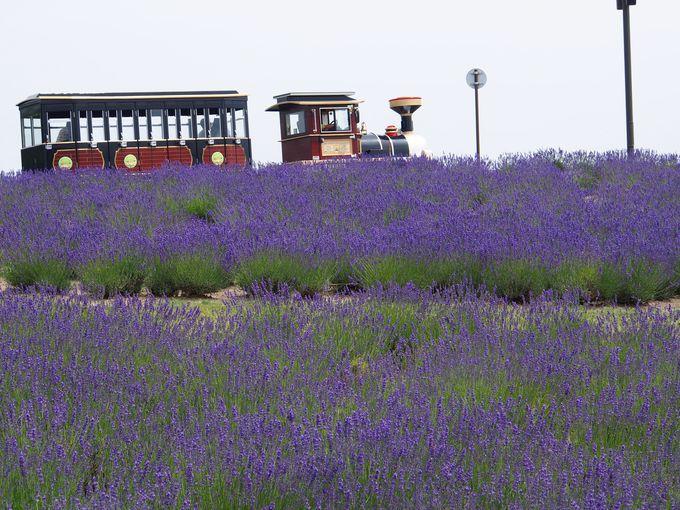 紫色で染まった「ラベンダーの丘」をSLバスが走る!