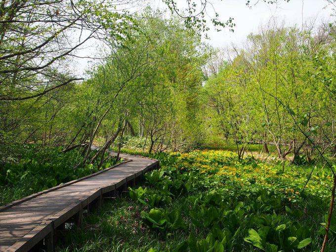 春に水芭蕉が見られる湿地帯の木道