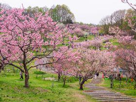 北海道札幌市の「平岡公園」は魅力満載!梅の花見と散策を楽しもう