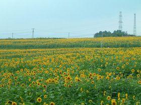 黄色に染まる丘!宮城大崎三本木ひまわりの丘~春は菜の花も!|宮城県|トラベルjp<たびねす>