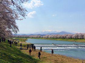 優雅な桜並木が8kmも続く!宮城・白石川堤「一目千本桜」|宮城県|トラベルjp<たびねす>