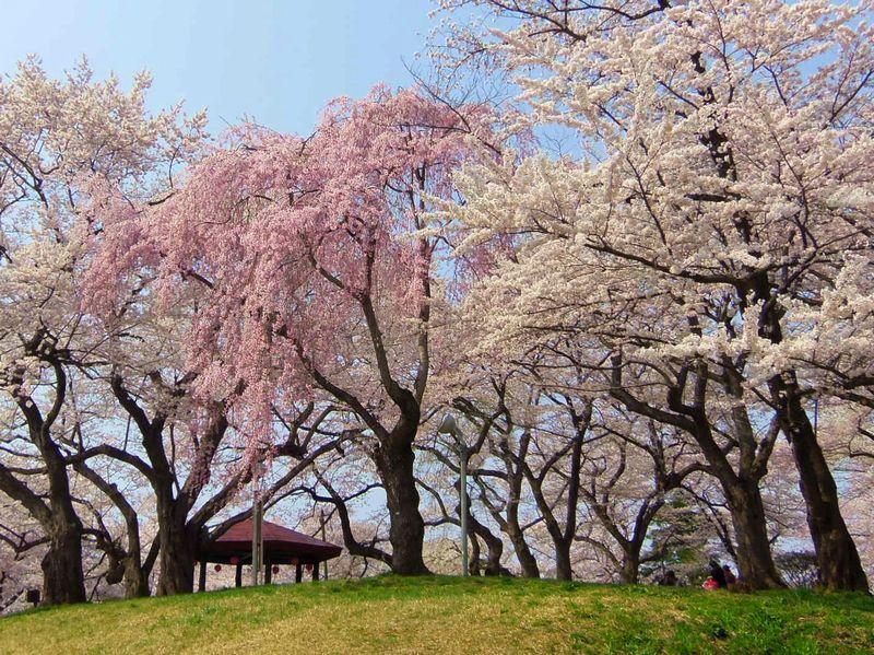 カラフルな25種の桜が咲き誇ります