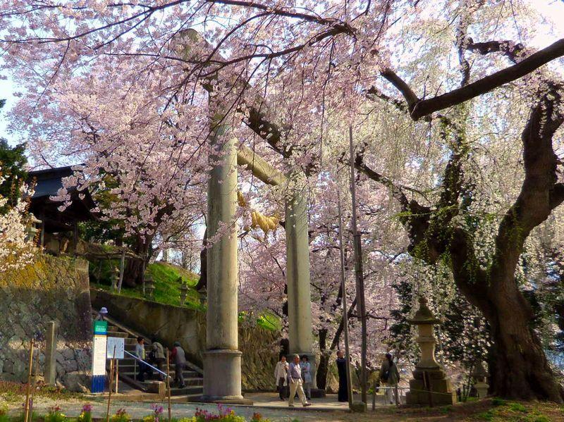 山ひとつが桜に包まれる名所!山形南陽「烏帽子山千本桜」