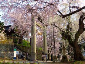 山ひとつが桜に包まれる名所!山形南陽「烏帽子山千本桜」|山形県|トラベルjp<たびねす>