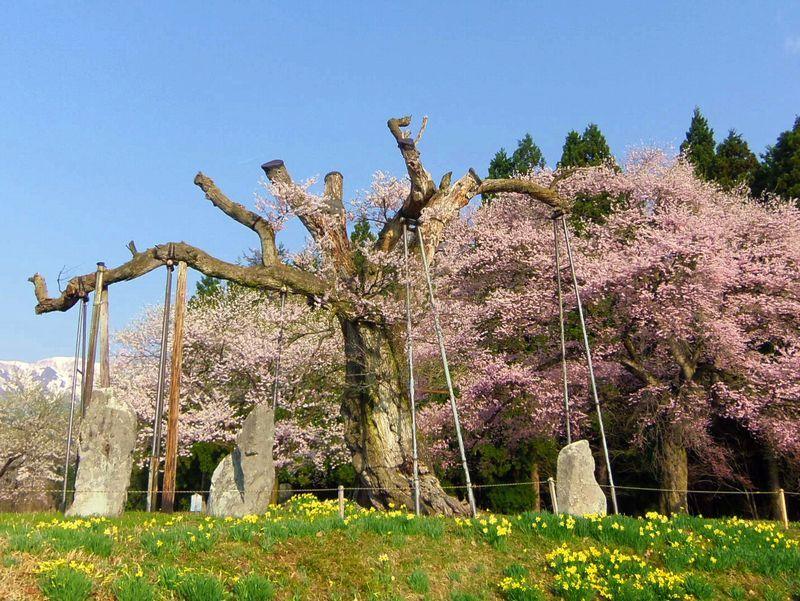 樹齢約1,200年〜薬師桜(白鷹町)