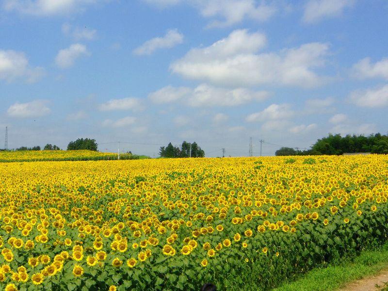 稜線まで見渡す限り「ひまわり」が咲く絶景!