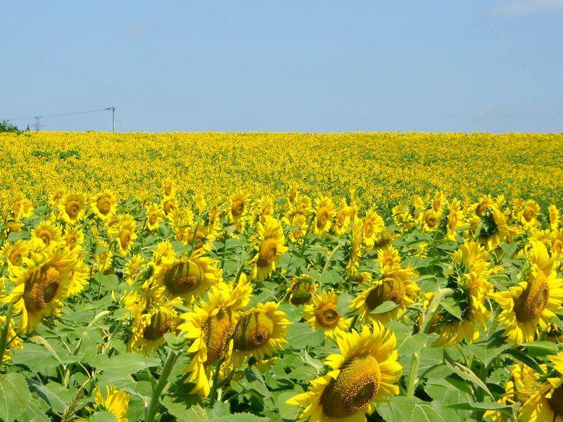 黄色に染まる丘!宮城大崎三本木ひまわりの丘〜春は菜の花も!