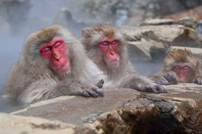 「地獄谷温泉」でオッサン猿を眺める