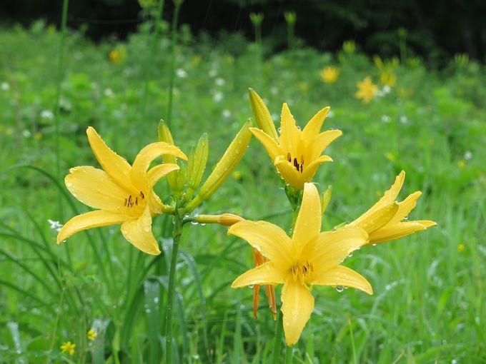 可憐な黄色い花を咲かせる雨上がりのニッコウキスゲ♪