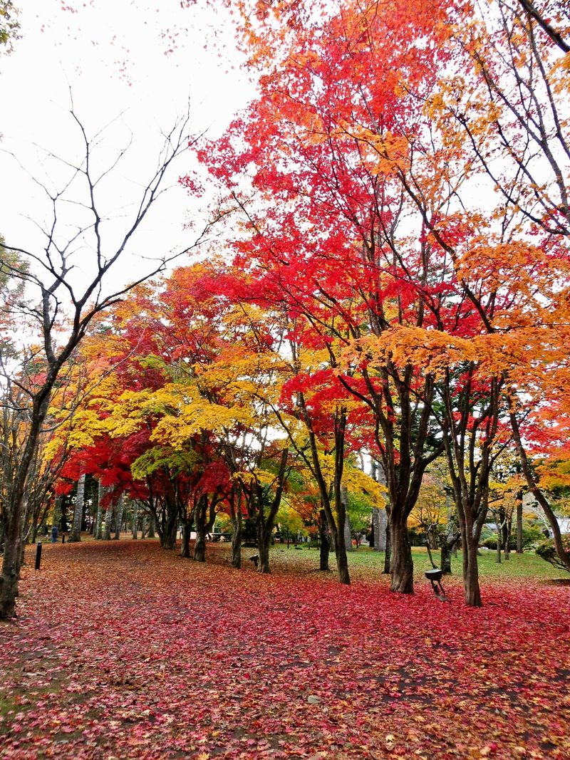 函館の穴場スポット「香雪園」で楽しむ紅葉♪どこまでも広がる真っ赤な絨毯に感動!