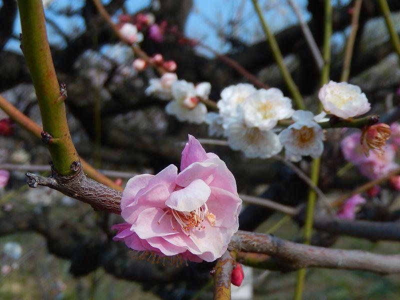 珍しい梅の木『思いのまま』を「大阪城梅林」で探してみよう!