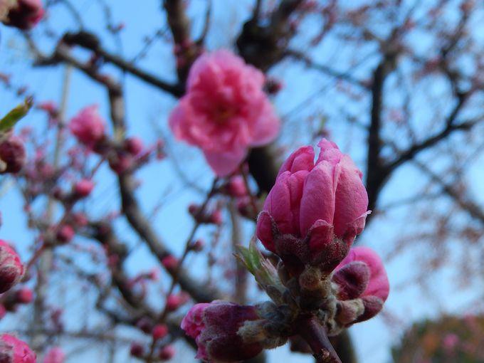 『梅』『桃』『桜』を見分けられますか?
