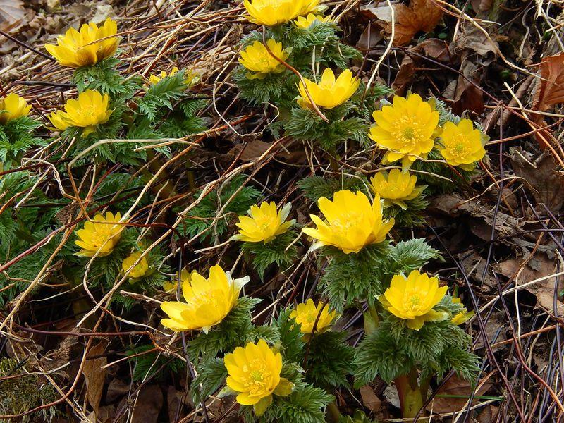 春を告げる可憐な『福寿草』を見るなら絶対!三重の藤原岳へ