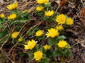 春を告げる可憐な『福寿草』を見るなら絶対!三重の藤原岳へ|三重県|トラベルjp<たびねす>