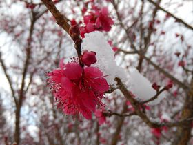 山と谷にある梅の名所ならココ!奈良の賀名生梅林と広橋梅林|奈良県|トラベルjp<たびねす>