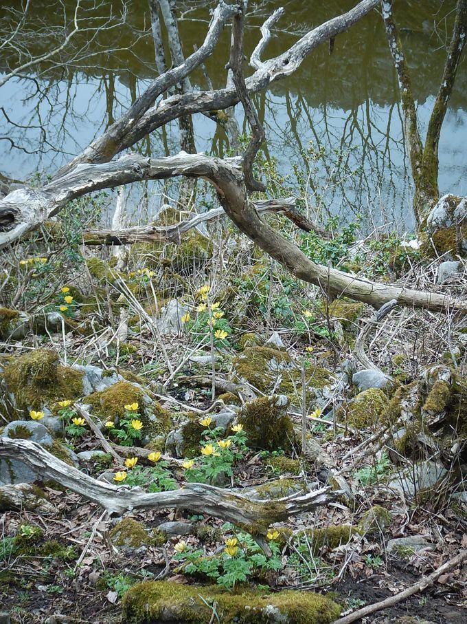 春を告げる福寿草の群落を見るなら、ココ!