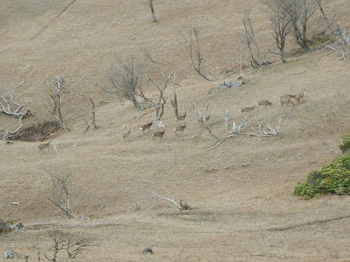鹿の群れが、あっちにも、こっちにも!