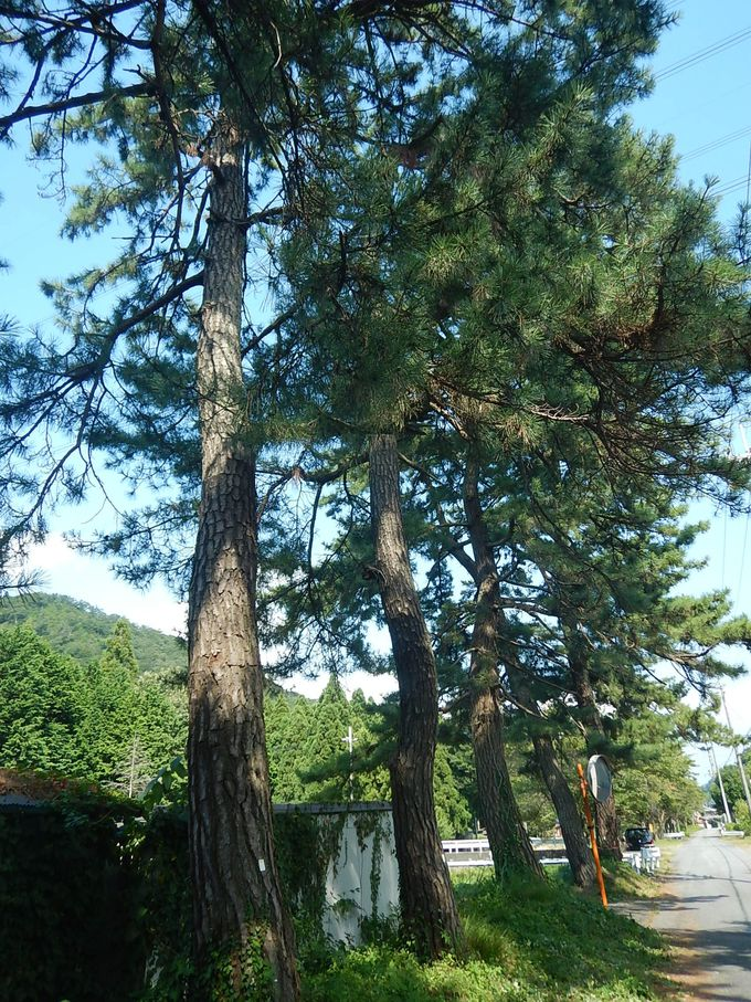 中山道名残の松並木