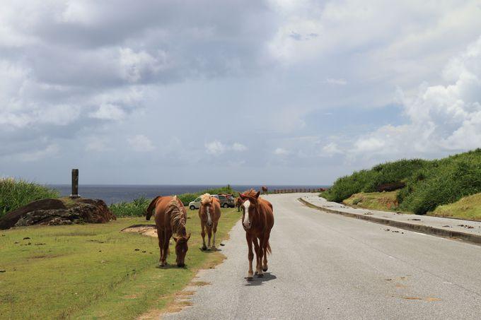 与那国馬に乗って海を散歩、なんてことも出来ます!