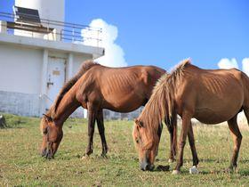 天然記念物が間近に! 日本の西の端で、与那国馬と出会う旅!