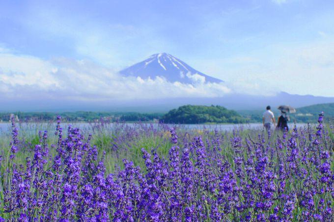 「大石公園」でラベンダー×富士山の絶景を!