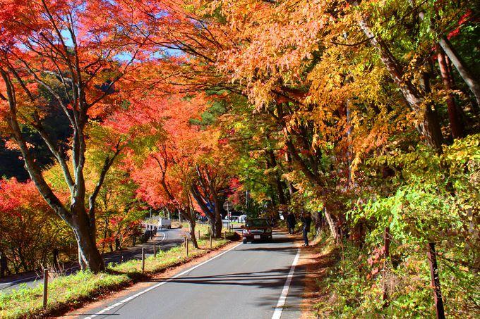 河口湖北岸の道を彩る紅葉トンネル