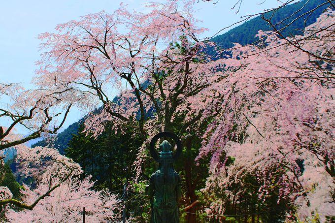 観音様も桜の鑑賞!?