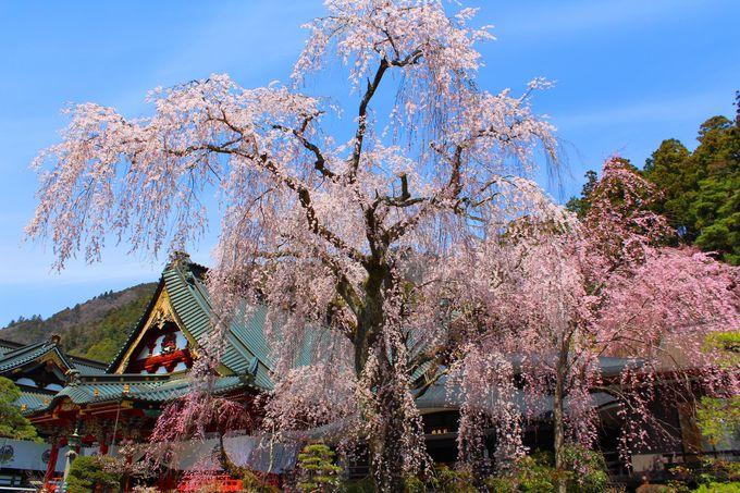 樹齢400年を超えてもきれいに咲き誇るしだれ桜