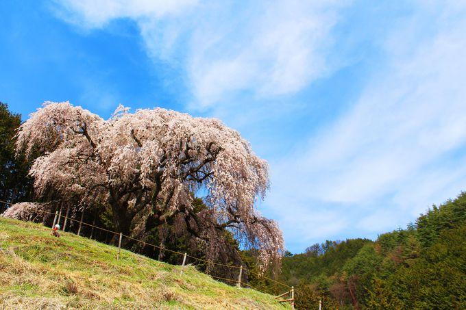 丘の上に佇む大きな一本桜