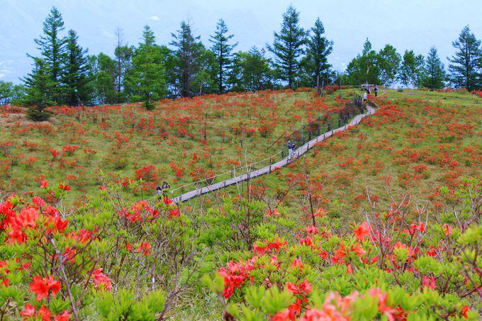 山頂手前に広がるレンゲツツジの花畑