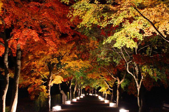 まっすぐに伸びるもみじの並木道がステキな富士吉田の紅葉