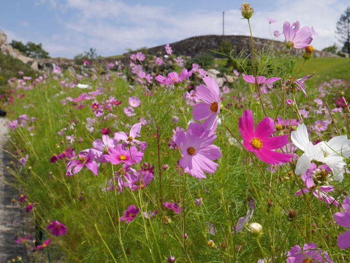 緑の丘を染めるコスモス!四国最大級のコスモス畑を楽しむ秋