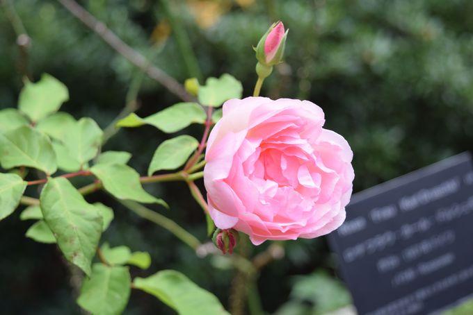 西洋の世界へ一変!花の香りで包まれる『カンナ・ローズ園』