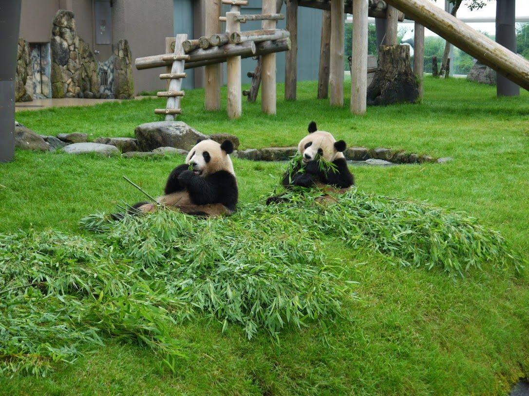 パンダの飼育数日本一「アドベンチャーワールド」