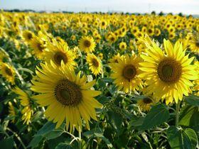 咲き誇る50万本のひまわり!兵庫県小野市「ひまわりの丘公園」
