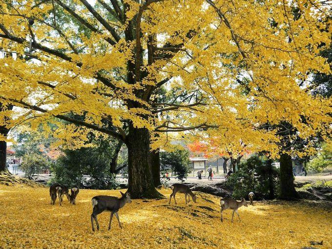 """「奈良公園」では国の天然記念物""""鹿""""が観光客をお出迎え"""