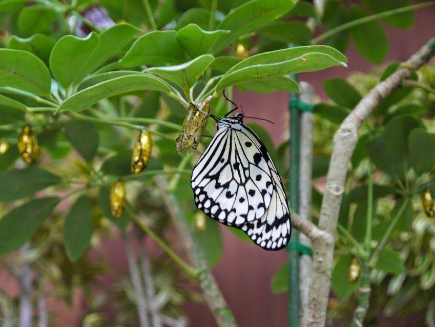 蝶々が頭の上に寄って来る?黄金に輝くサナギも必見!