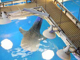 水族館が100倍楽しくなる!海遊館ジンベエソフト&バックヤードツアー|大阪府|トラベルjp<たびねす>