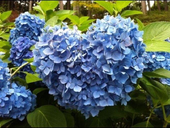京都宇治の隠れた花の名所、三室戸寺でハートのあじさい探し