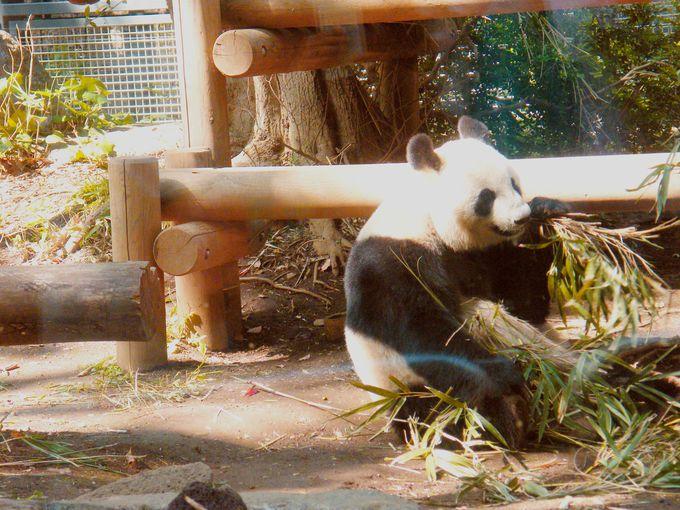 上野動物園の代名詞・パンダに会おう!火・水・木・金・土は園内ガイドツアーも