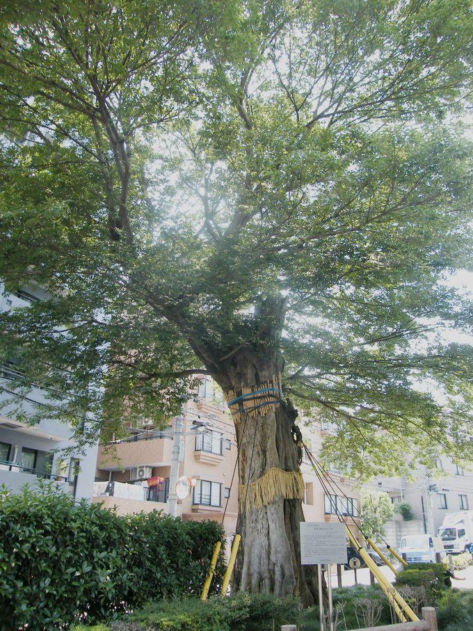 シンボル的存在 神木・椋の木