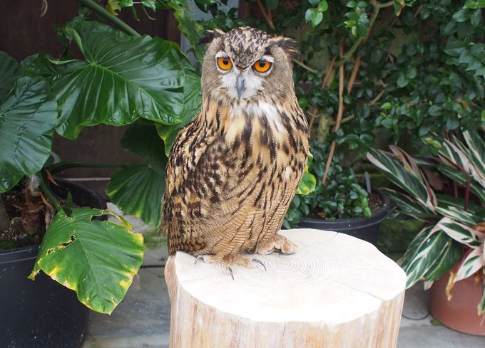 「掛川花鳥園」の顔、ふくろう