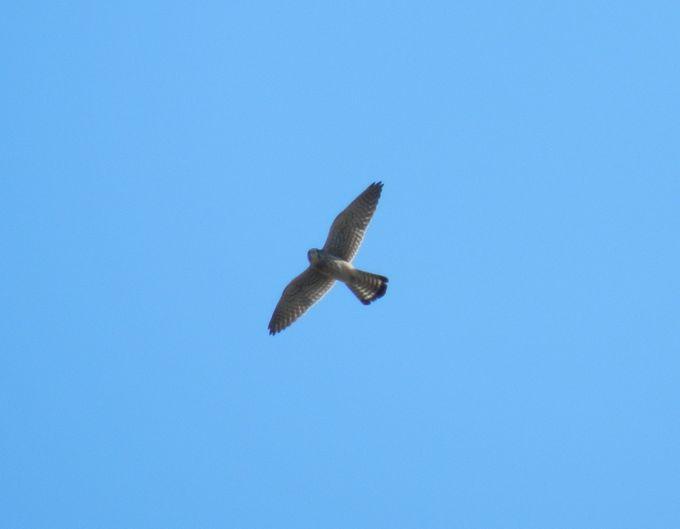 上空を舞う猛禽類は、自然豊かな公園だからこそ見られる美しいハンター