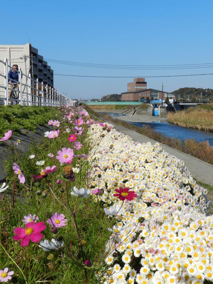 境川の河川敷で、季節ごとの花景観を楽しもう