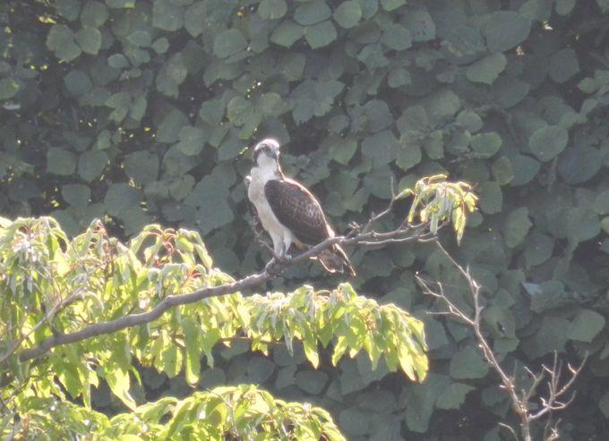 勇ましい猛禽・ミサゴは、長浜公園のシンボル