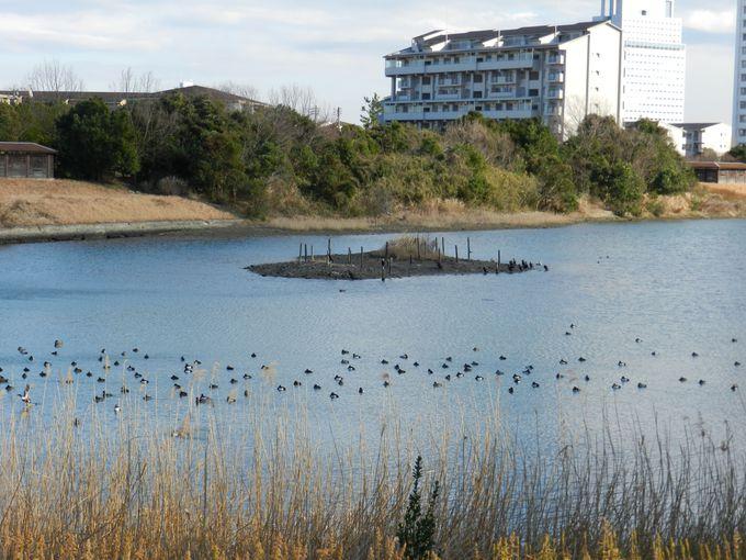 緑に囲まれた巨大な池で、冬のカモを観察しよう
